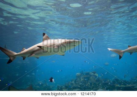 Sharkt
