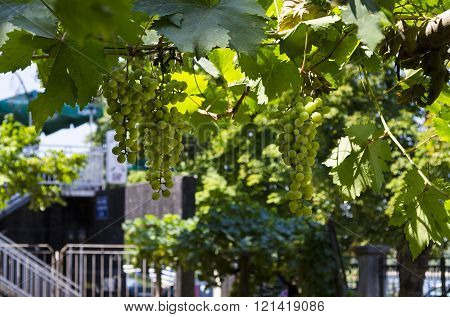 Landscape  In The Vineyard In The Summer, Ruse, Bulgaria