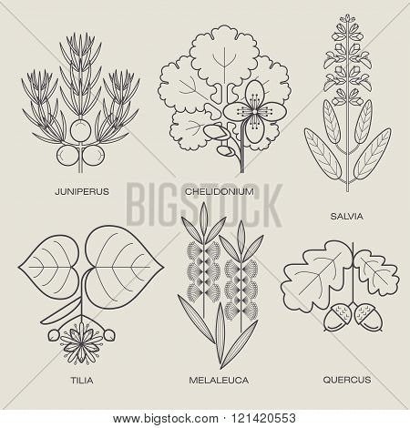 Set of vector illustrations of various herbs. Icons of plants to create posters logos labels. Healthy lifestyle concept. The herb sage celandine herbs juniper linden oak tea tree. Eco herbs.