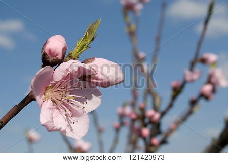 Peach Buds And Flower