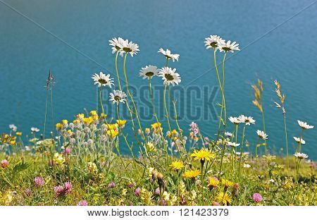 Alpine Flower Meadow At The Lake Shore Lunersee, Austria