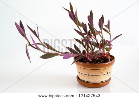 Tradescantia in a pot on a light background