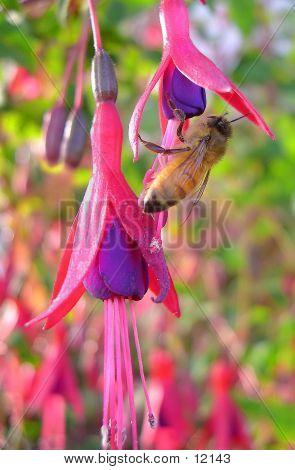 Fuscia Bee