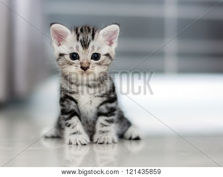 Cute American shorthair cat kitten sitting on the floor