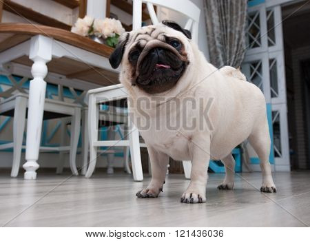 Pug standing in the room. Next to the table