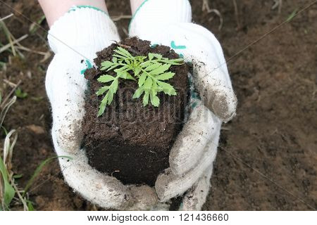 Planting Seedlings, Closeup