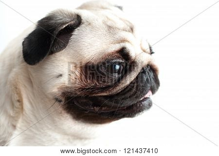 Portrait of a pug on a white background
