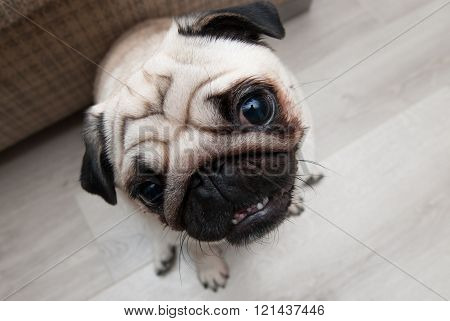 Funny pug. Pug head. Pug - top view. Fisheye