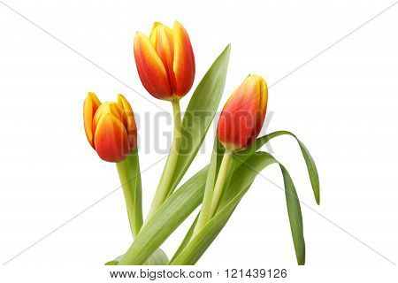 Three Red-yellow Tulip Flowers Isolated On White