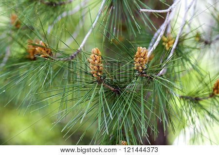 Pine Branch With Needles