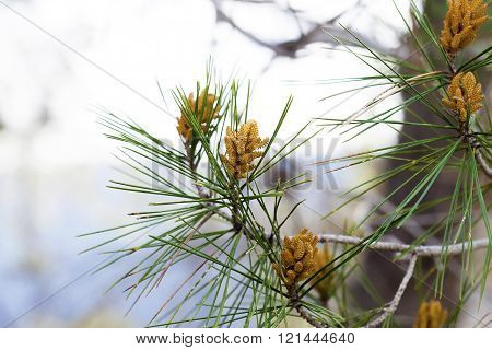 Yellow Pine Blossom Cluster