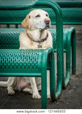 White Labrador waiting for his master outside restaurant ** Note: Visible grain at 100%, best at smaller sizes
