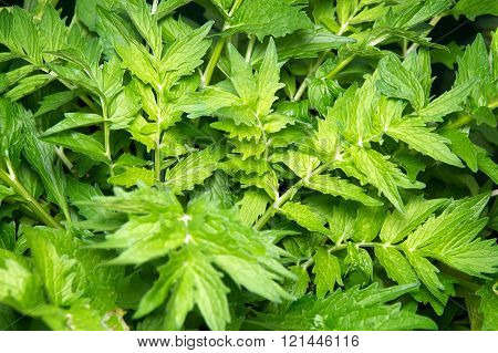 Valerian Plant Leaves
