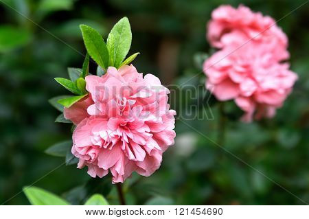 Rhododendron Simsii Flower