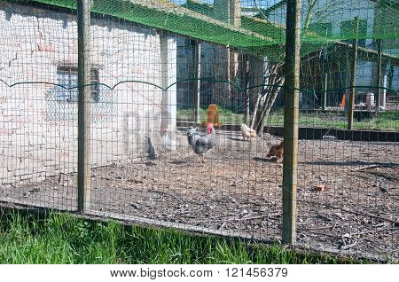 Chicken Coop With The Hens Inside And The Rooster