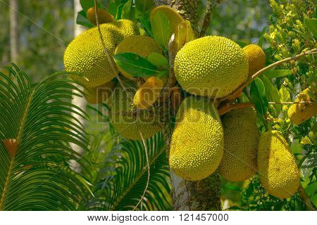 Breadfruit on Tree Green Fruit in Forest Jungle