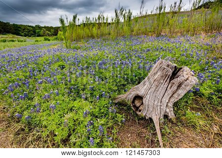 A Wide Angle View of Stormy Skies, an Old Tree Stump, and a Beautiful Field or Meadow Blanketed with the Famous Texas Bluebonnet (Lupinus texensis) Wildflowers at Muleshoe Bend in Texas.