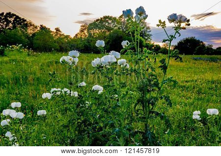 Bluebonnets White Poppies Yellow Cut Leaf Groundsel and other Texas WIldflowers in a Texas Pasture at Sunset.