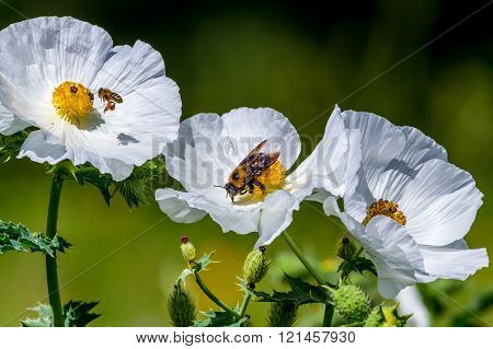 Closeup Of Two Bees On White Prickly Poppy Wildflower Blossoms In Texas