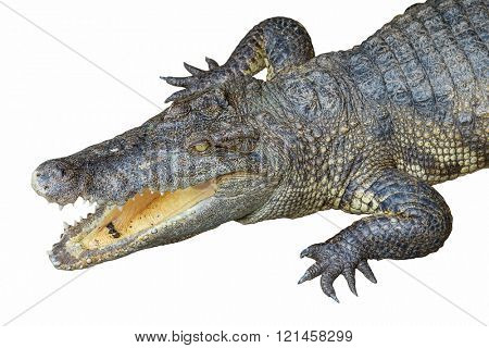 Ð¡rocodile head with open jaws isolated on white background.