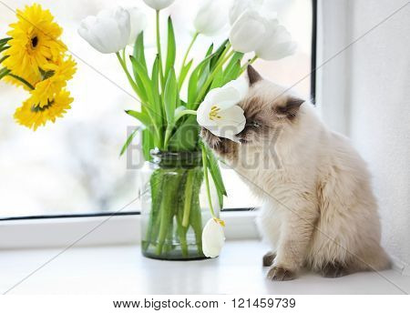 Color-point cat sitting with flower on a window in living room