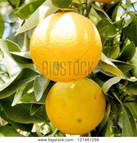 Two Oranges on Citrus plant in Neve Monosson near Or Yehuda Israel
