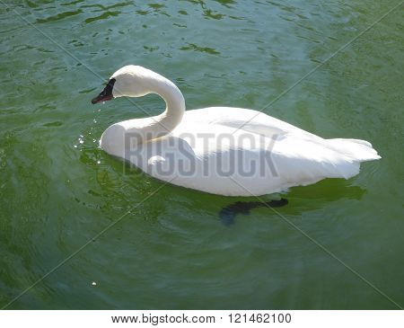 Swan swimming in a pond water.