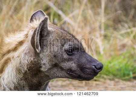 Spotted Hyaena In Kruger National Park, South Africa