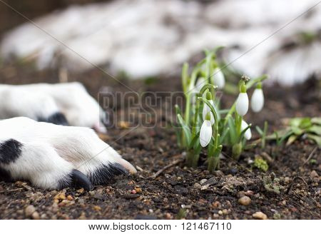 Dog Lying Near The First Snowdrops