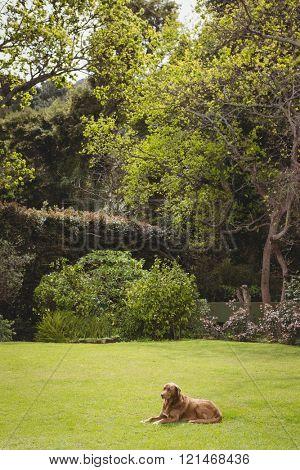 Dog sitting on green lawn