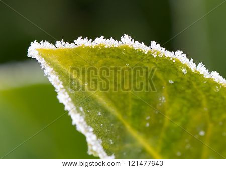Green Leaf With Ice