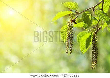 Alder branch with catkins