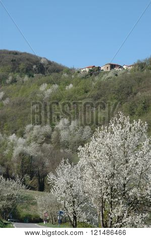 Forest with cherry trees in bloom