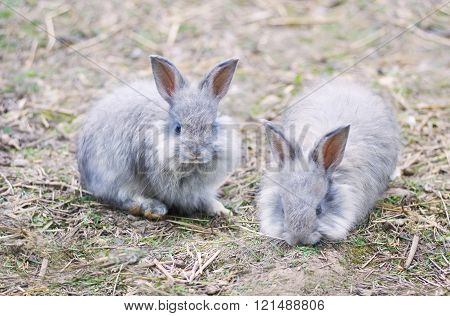 Angora Rabbits On  Straw