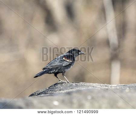 red-winged blackbirdAgelaius phoeniceus is a passerine bird of the family Icteridae