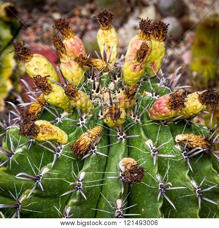 Prickly Cactus Have Finished Blooming