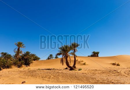 palm in the  desert oasis, morocco