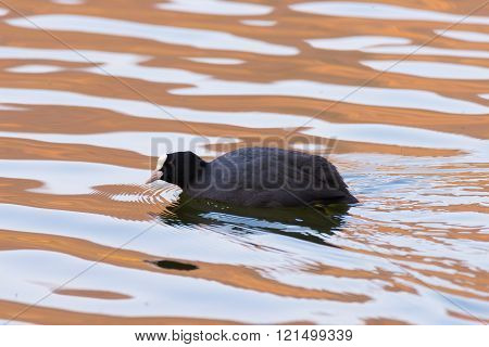 Lone Eurasian Coot swimming on water surface, sunset soft light
