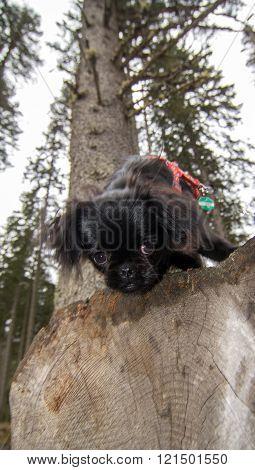 Young pekinese dog