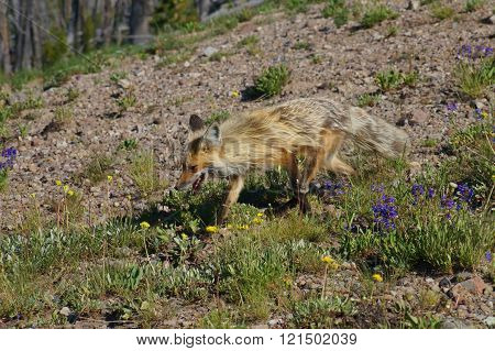 Mountain Red Fox living at high elevations with yellow and cream colored fur.