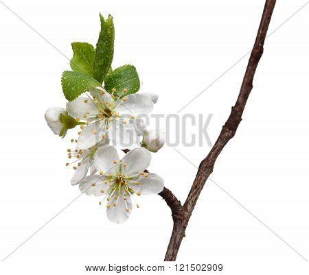 Dew On Blooming Fruit-tree