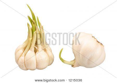 Dois bulbos de alho de brotação