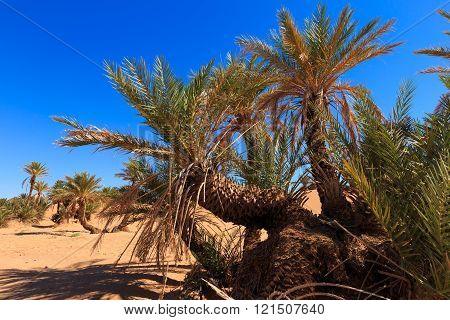 date palms in the Sahara
