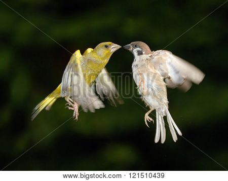 Greenfinch And Sparrow Fighting In Flight