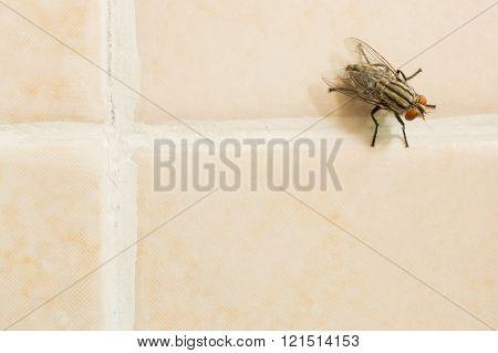 Housefly On Yellow Tile Floor