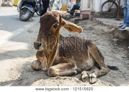 Tramp Calf Cow