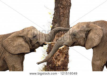 Two elephants and a tree