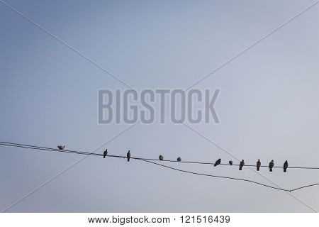 group of pigeon bird perch on cable line in blue sky