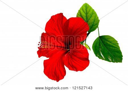 One Red Hibiscus On A White Background