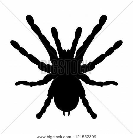 insect in magnifier. Brachypelma smithi, spider female. Sketch of spider. Tarantula Design for color